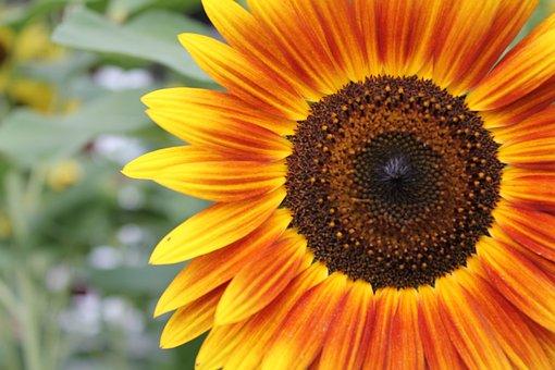 Flower, Sunflower, Garden, Sun, Blossom, Summer