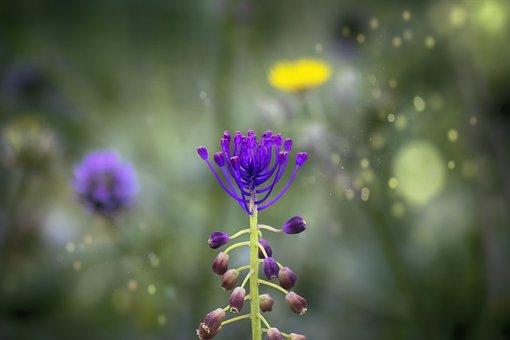 Tassel Hyacinth, Flower, Plant, Fringe Hyacinth