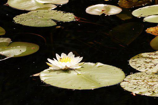 Flower, Lily, Water Lily, Pond, Blossom, Water Plant