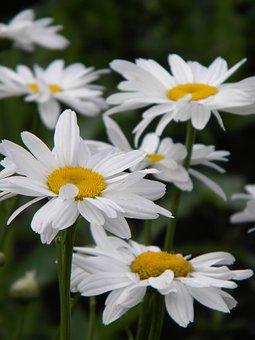 Chamomile, Flowers, Plants, Petals, White Flowers