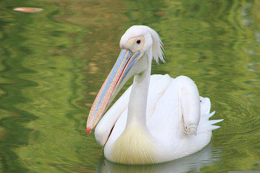 Pelican, Bird, Lake, Beak, Water Bird, Aquatic Bird