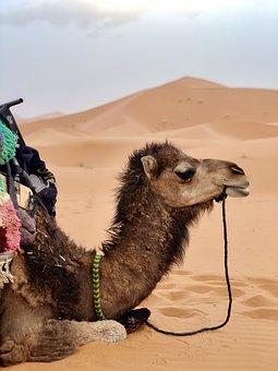 Camel, Desert, Sahara, Artiodactyla, Dunes, Sand Dunes