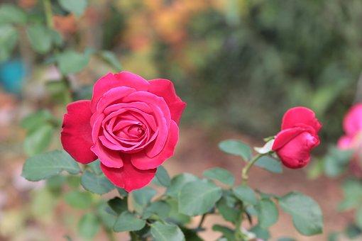 Rose, Flower, Plant, Red Rose, Red Flower, Bud, Bloom