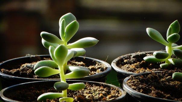Succulents, Plants, Potted Plants, Flora, Garden