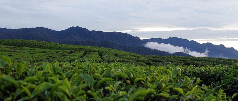 Tea, Farm, Mountains, Fields, Plantation, Farming