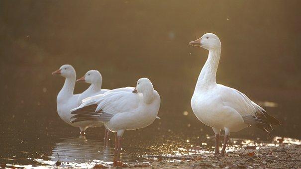 Snowgoose, Anser Caerulescens, Lichtspiel, Waterfowl