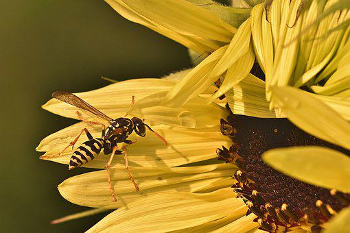 Sunflower, Wasp, Petals, Bloom, Blossom, Yellow Petals