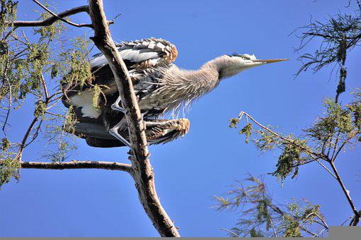 Heron, Bird, Plume, Large, Perched, Great Blue Heron