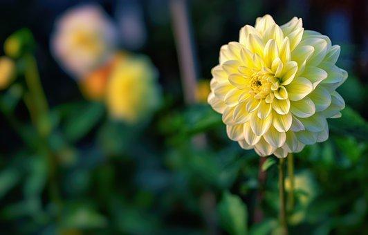 Dahlia, Flower, Plant, Petals, Bloom, Blossom