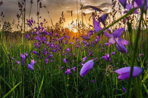 Sun Flower, Grassland, Sunryse, Sun, Evening, Sunset