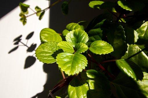 Plectranthus Verticillatus, Money Plant, Swedish Ivy