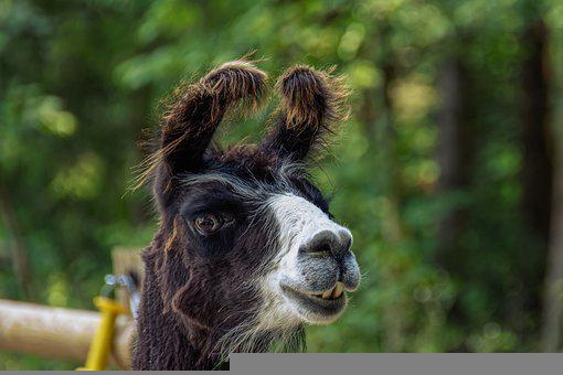 Alpaca, Lama, Wool, Farm, Cattle, Mammal, Animal