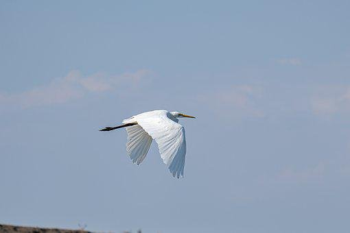 Great White Egret, Birdwatching, Danube Delta, Romania