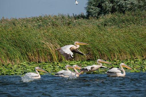 Great White Pelicans, Birdwatching, Danube Delta