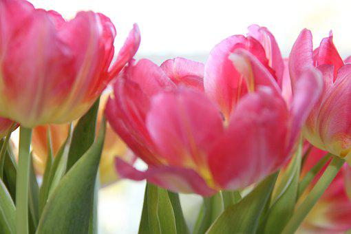 Tulips, Flowers, Pink, Nature, Blossom, Bloom, Close Up