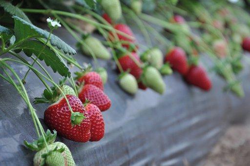 Strawberries, Basilicata, Candonga, Lipstick, Matera