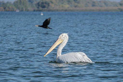 Dalmatian Pelican, Pelican, Beak, Feathers, Plumage