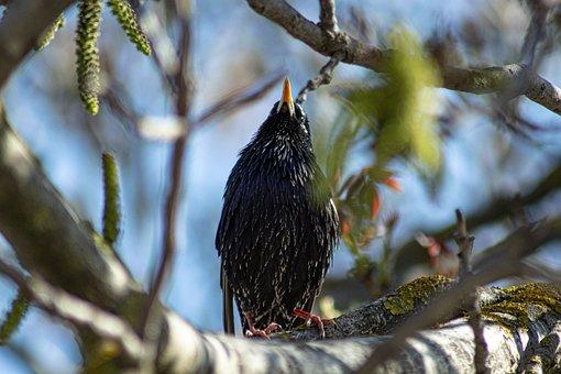 European Starlin, Birdwatching, Danube Delta, Romania