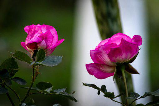 Rosas, Flores, Decoracion, Flower, Decoration, Floral