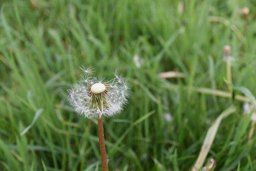 Dandelion, Flower, Seeds, Grass, Wind