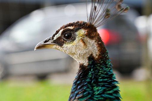 Peacock, Bird, Head, Green Peafowl, Peafowl