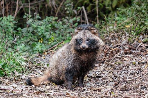 Raccoon Dog, Raccoon, Mammal, Wild, Wildlife, Animal