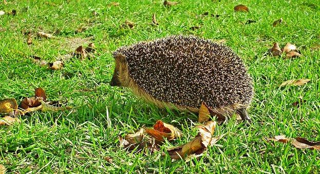Hedgehog, Animal, Lawn, Mammal, Pet, Spiky, Grass