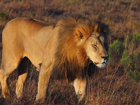 Lion, Animal, Africa, King, Nature, Safari