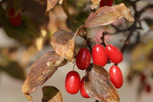 Cornus, Fruit, Nature, Wood, Plants, Autumn, Season