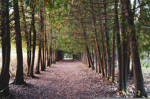 Forest, Trees, Leaves, Foliage, Road, Avenue, Pathway