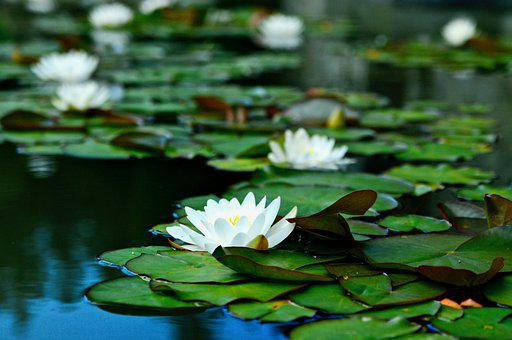 Water Lilies, Flowers, Pond, Bloom, Blossom