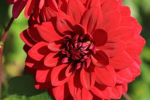 Dahlia, Flower, Plant, Red Flower, Petals, Bloom