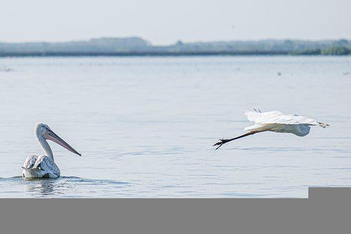 Dalmatian Pelican, Birds, Lake, Pond, Swin, Avian