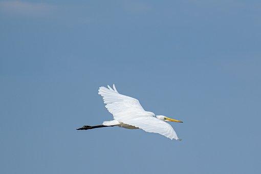 White Egret, Bird, Wings, Flight, Sky, Avian, Animal