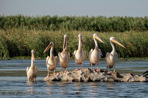 Birds, Pelicans, Flock, Rock, Avian, Fauna, Wildlife