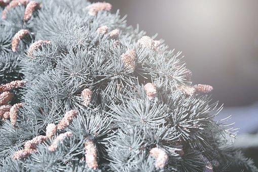 Cedar, Tree, Plants, Hanging Cedar, Winter, Cold