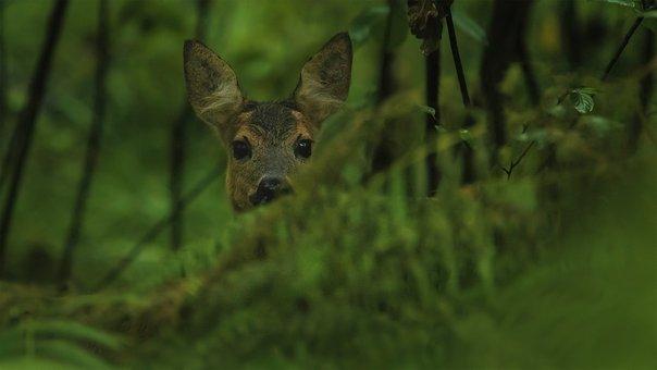 Roe Deer, Hidden, Forest, Buck, Deer, Roe, Animal