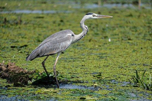 Grey Heron, Bird, Beak, Feathers, Plumage, Swamp