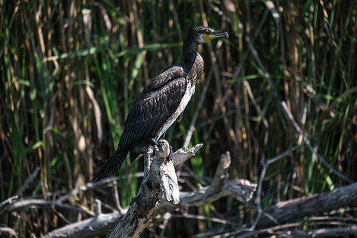 Cormorant, Bird, Beak, Feathers, Plumage, Branch, Tree
