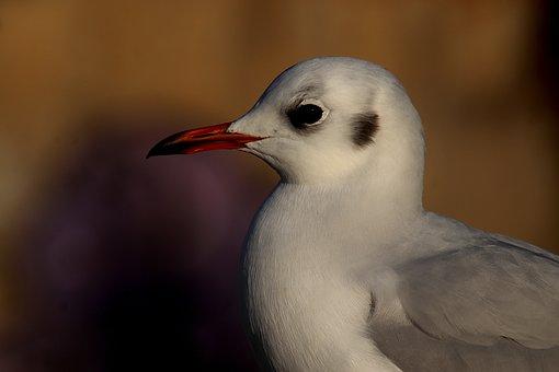 Seagulls, Birds, Seabirds, White Color, Eye, Beak