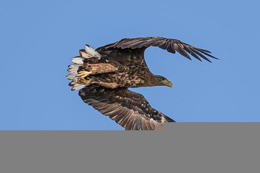 White-tailed Eagle, Birdwatching, Danube Delta, Romania