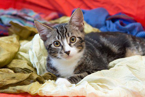 Cat, Tabby, Kitten, Portrait, Pet, Mackerel, Charming