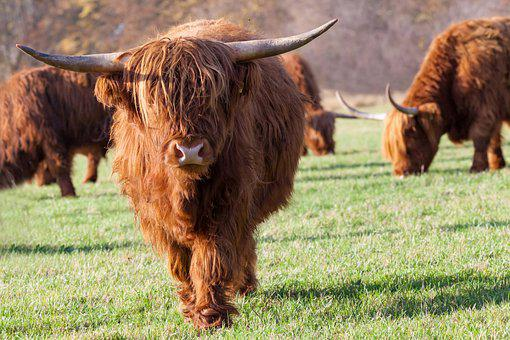 Highland Cow, Animal, Pasture, Mammal, Cattle, Cow