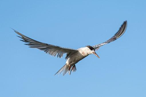 Common Tern, Birdwatching, Romania