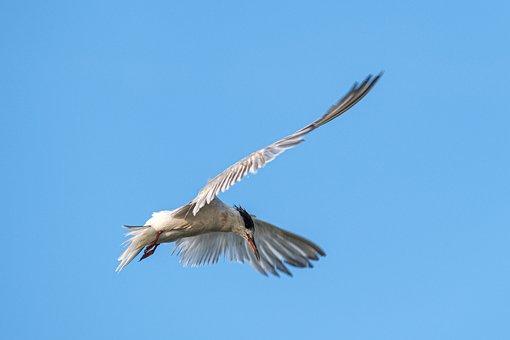 Common Terns, Danube Delta, Wildlife, Landscape, Birds
