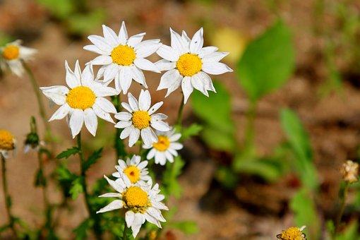 Gujeolcho, Siberian Chrysanthemum, Daisy, Chrysanthemum