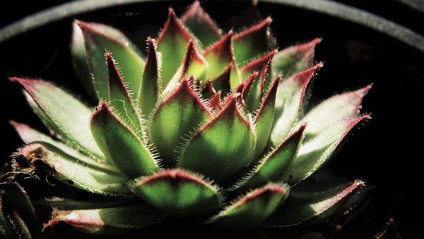 Houseleek, Succulent, Plant, Decorative, Potted Plant