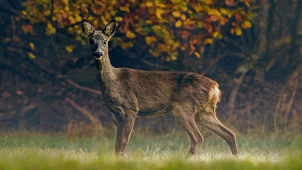 Roe Deer, Animal, Forest, Deer, Roe, Mammal, Wildlife