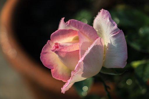 Rose, Flower, Dew, Dewdrops, Droplets, Petals