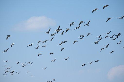 Geese Flying, Birdwatching, Danube Delta, Romania